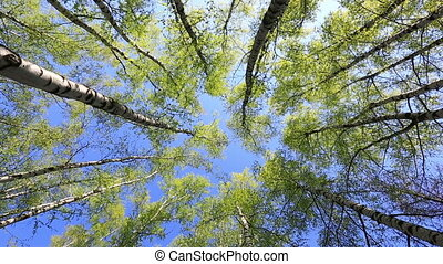 Birch tops in peaceful blue sky, rotation - Summer forest...