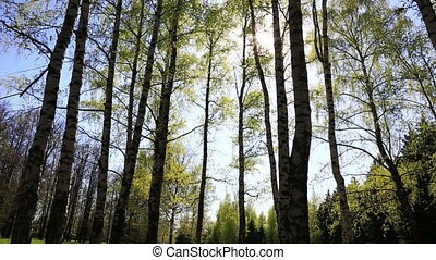 Birch tops in peaceful blue sky - Summer forest with green...