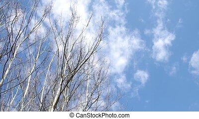 Birch tree and blue sky