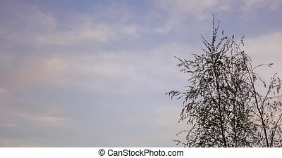 Birch tree and clouds - Time Lapse detached birch tree and...