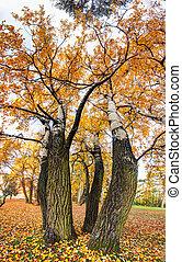 Birch tree as vertical panorama at autumn