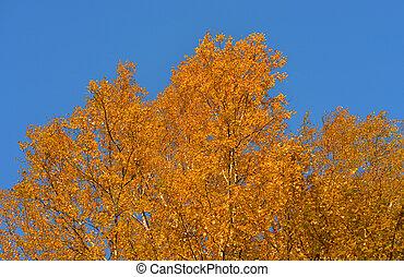 Birch tree at autumn.
