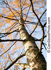 Birch tree at autumn