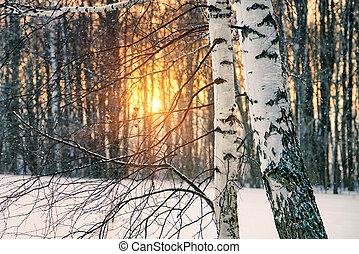 Birch tree at winter sunset