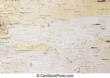Birch tree bark background