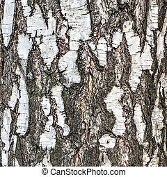 Birch tree bark texture. Surface of the tree trunk