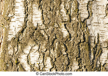 Birch tree bark texture