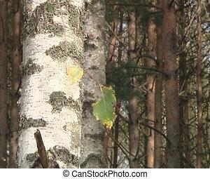 Birch tree branch move in wind