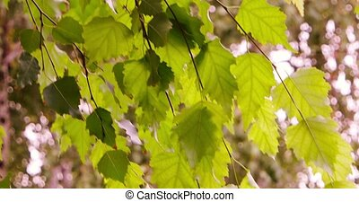 Birch tree branch with green leaves in the city park