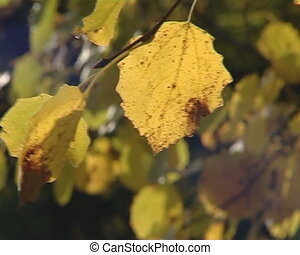 Birch tree branch with yellow autumn leaves moving in wind.