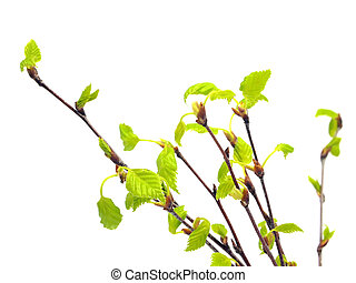 birch tree branch with young leaves on white background