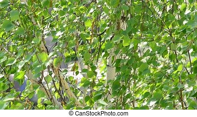 Birch tree branches with foliage blown by wind in spring