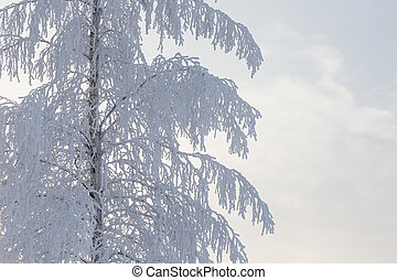 Birch tree covered in snow