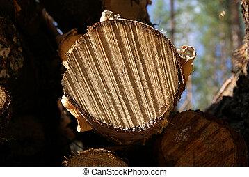 Birch Tree Cut