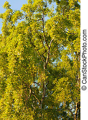 Birch tree foliage