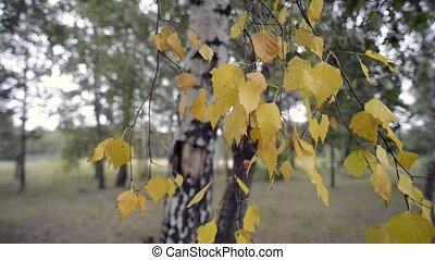 birch tree foliage - birch tree yellow foliage by early...