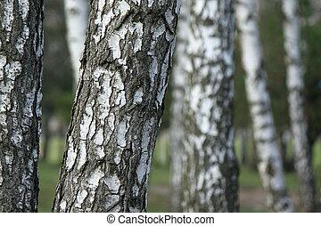 Birch tree forest, birches