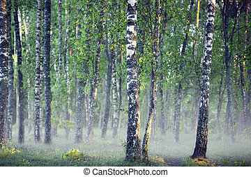Birch tree forest on foggy morning