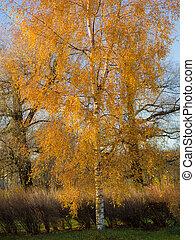 birch tree in a sunny autumn park