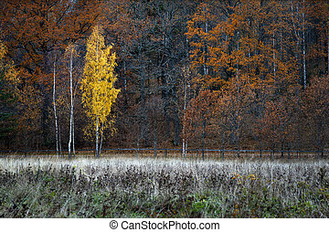 Birch tree in autumn landscape