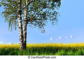 Birch tree in rapeseed plant field