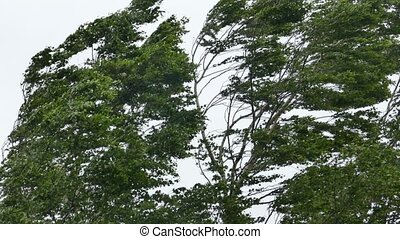 Birch tree in strong wind storm - Tall Birch tree swinging...