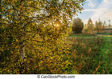 birch tree in the morning
