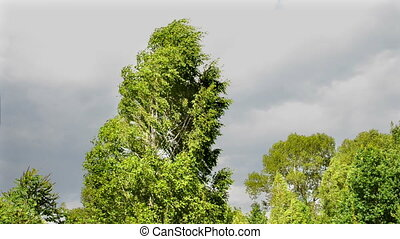 Birch tree on strong wind. Tropical storm with dramatic...