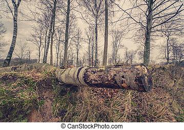 Birch tree on the ground