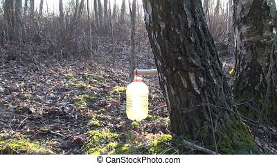 Birch tree sap dripping in bottle - Birch tree sap dripping...