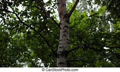 Birch tree sways in the wind