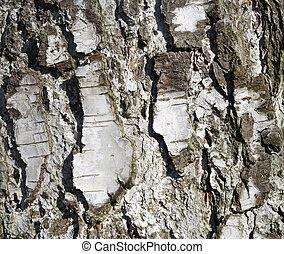 Birch Tree Texture