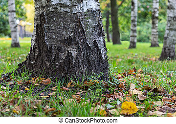 birch tree trunk close up