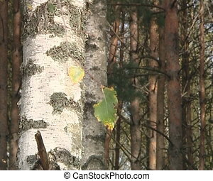 Birch tree trunk, small branch moving in wind and pine tree trunks.