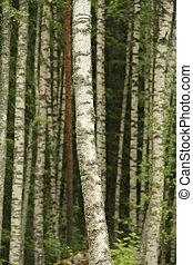 Birch tree trunks in a forest in summer