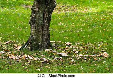 Birch tree with fairy ring