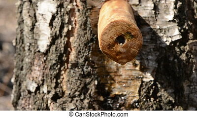 birch tree with wooden spigot and sap drops