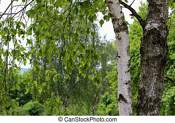 Birch tree with young foliage