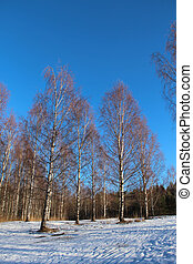 Birch trees a sunny winter day