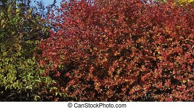 Birch trees and Black Chokeberry - Yellow birch and Black...