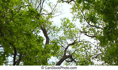 birch trees and clear sky in the forest - Lush green...