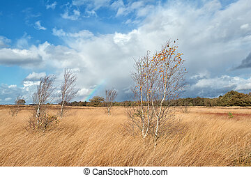 birch trees and rainbow during autumn