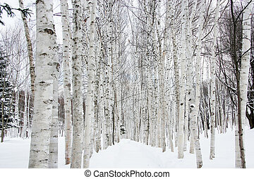 Birch trees and snow