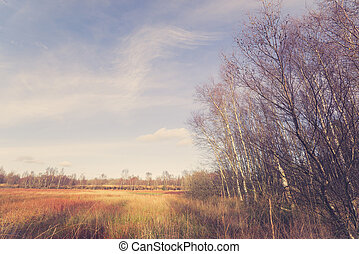 Birch trees at a swamp