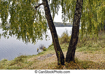 Birch trees by the lake on a cloudy autumn day