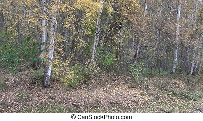 Birch trees falling leaves in fall