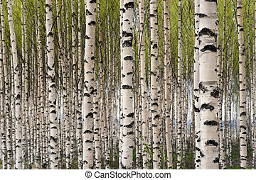 Grove of birch trees with green leaves in spring