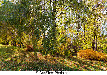Birch trees growing on the edge of forest in autumn