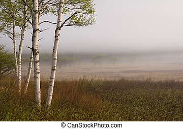 Birch trees at the edge of a misty meadow in Nikko, Japan