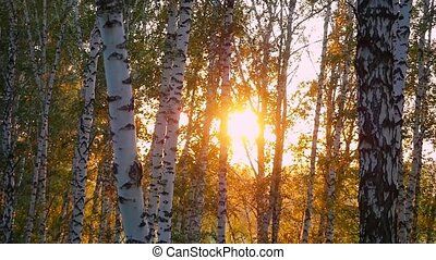 birch trees in a summer autumn forest during beautiful sunset in slowmotion. 1920x1080